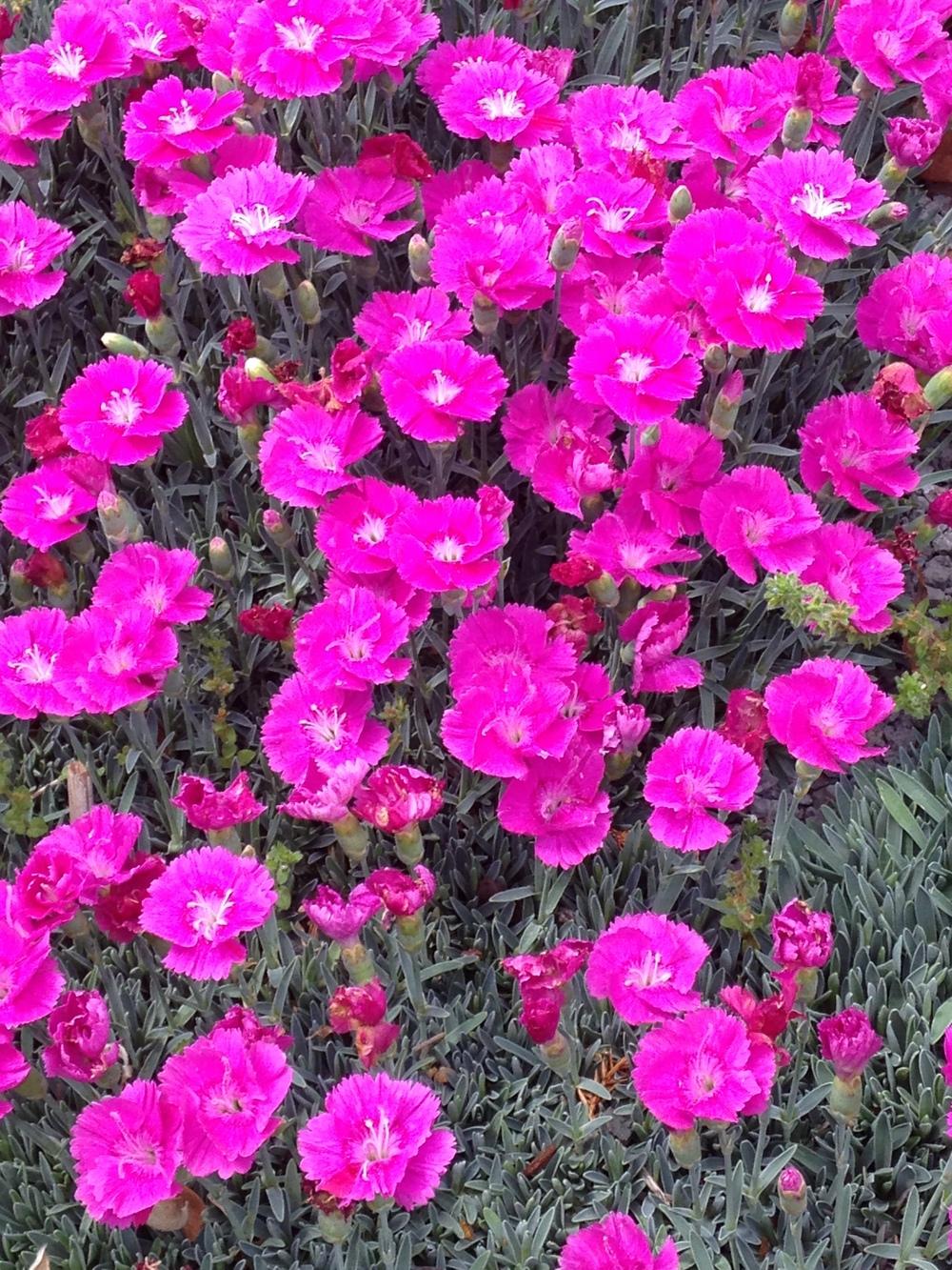 Dianthus, NC Arboretum