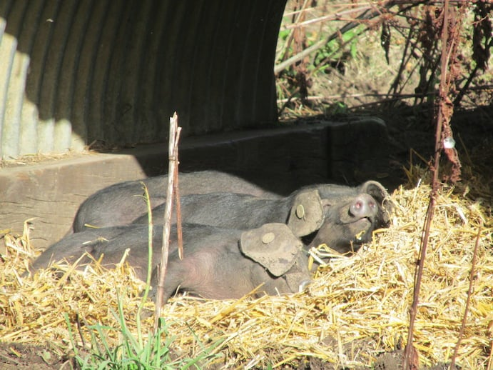Basking pigs