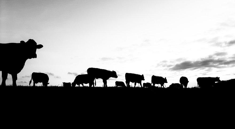 Cows-at-Sunset.jpeg