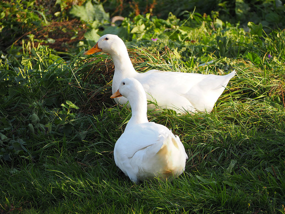 Aylesbury-Ducks.jpg