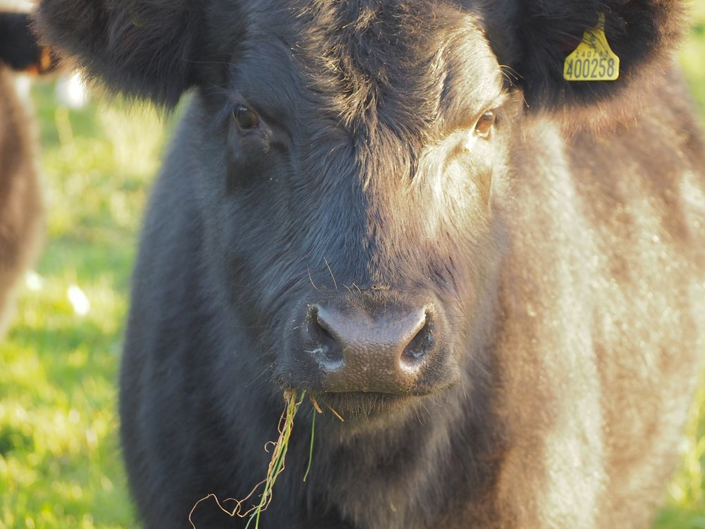 Angus-Cattle-GrassFed-Essex.jpg