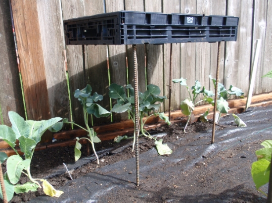Rebar and a plastic tote make a temporary shelter for overheated broccoli