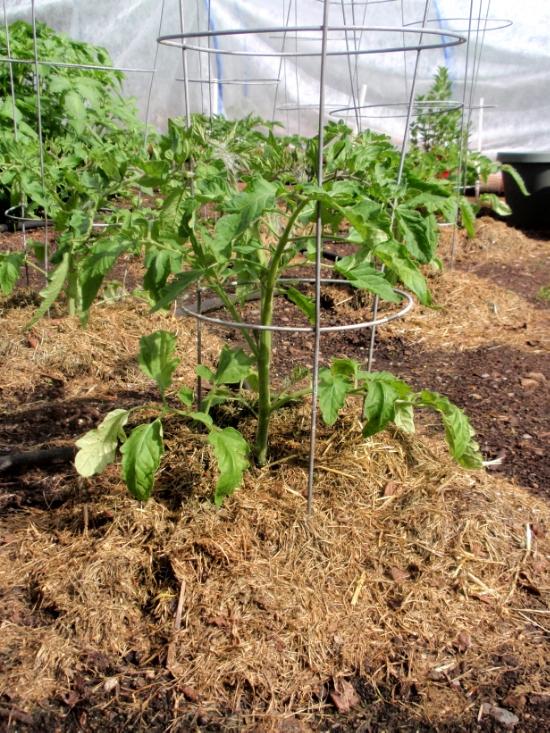 Mulch around a tomato plant