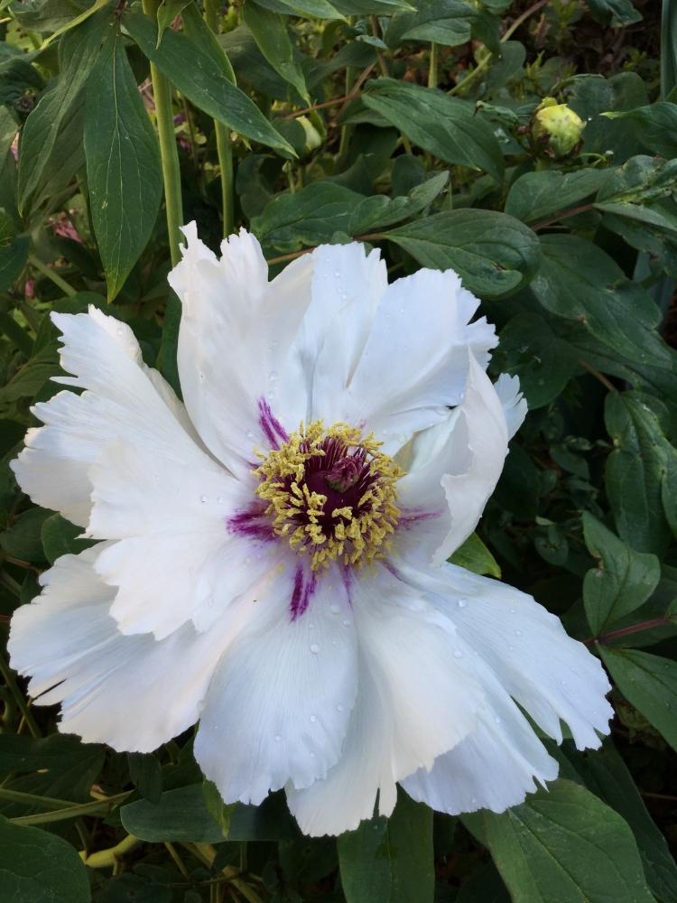 Tree peony 'Snow Lotus'