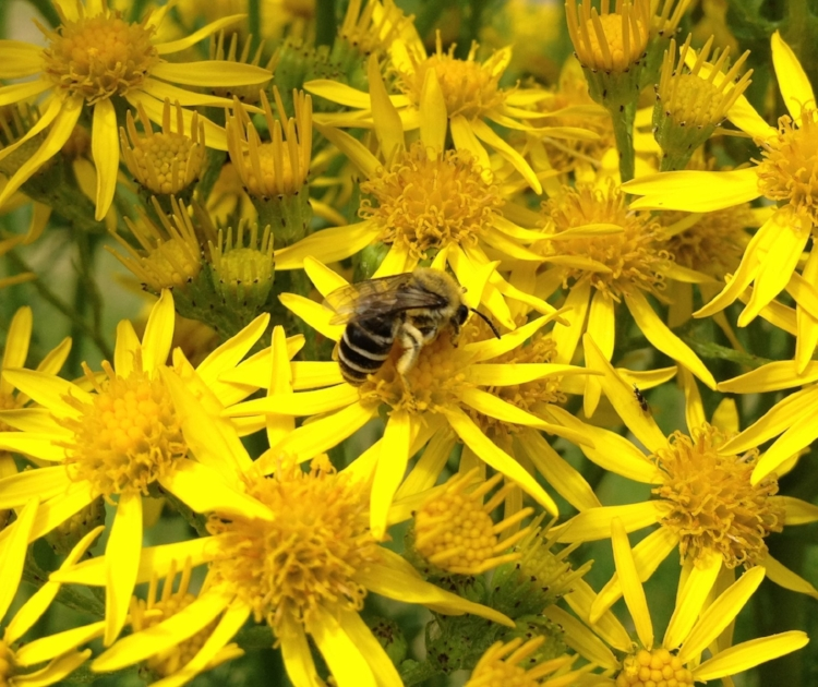 An alfalfa leafcutter bee, busy at work pollinating ragwort. Leafcutter bees are native to much of the United States.