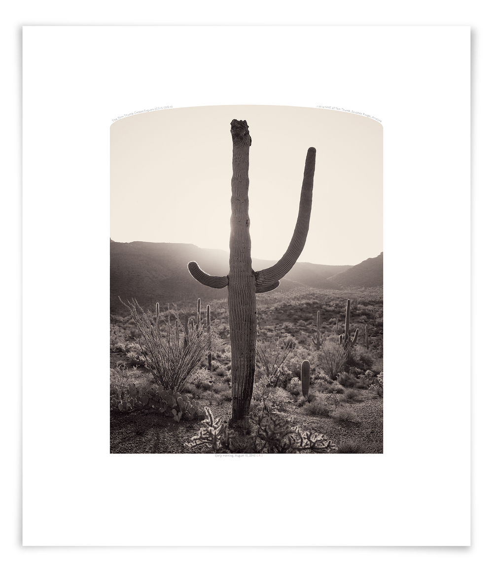 The Tom Thumb Crested Saguaro (CG13 120816)   28 x 24 in (71 x 61 cm)