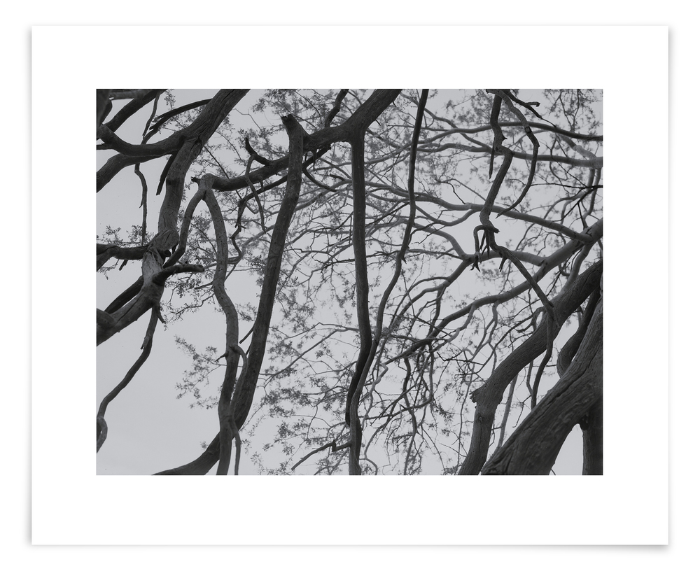 The Raven Butte Ironwood (OT01 151030)   24 x 31 in (61 x 79 cm)