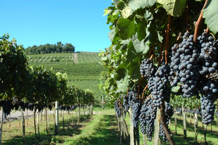 O concurso acontecerá justo na época da vindima, que é a colheita das uvas utilizadas na fabricação de vinhos, espumantes e sucos premiados internacionalmente. É quando a região de Bento Gonçalves torna-se ainda mais bonita e cheia de vida!