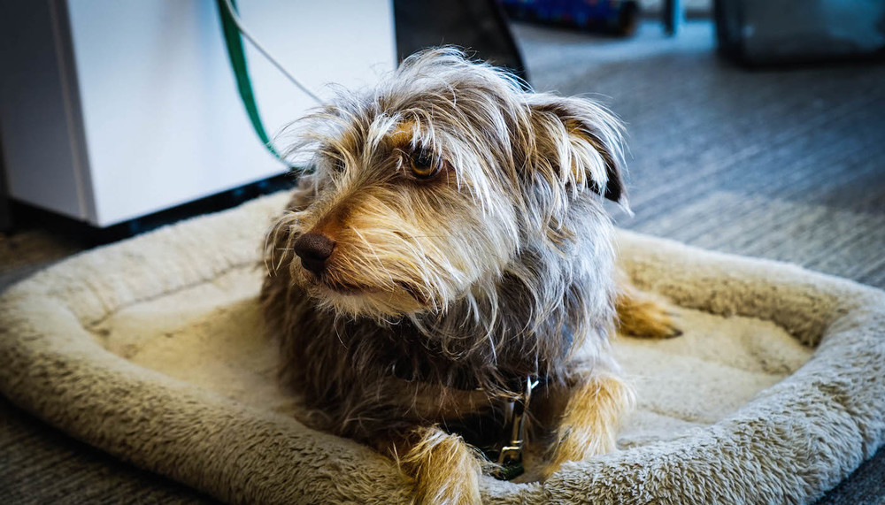 Rocky, a terrier, hangs out by owner Lindsey Hansen's desk at Eventbrite HQ in San Francisco.