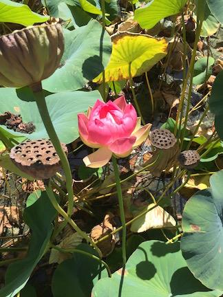 Lotusland lotus.jpg
