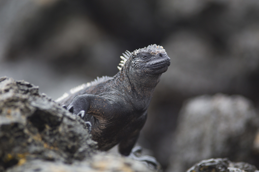 Meerechse   Amblyrhynchus cristatus    Ecuador, Galapagos    Floreana    2014