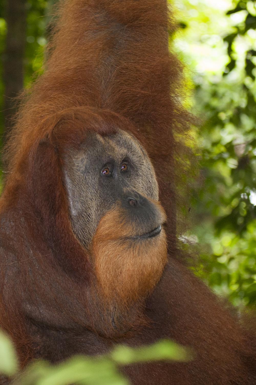 Orang utan  Pongo abelii  Sumatra  Gunung Leuser  10.06.2010