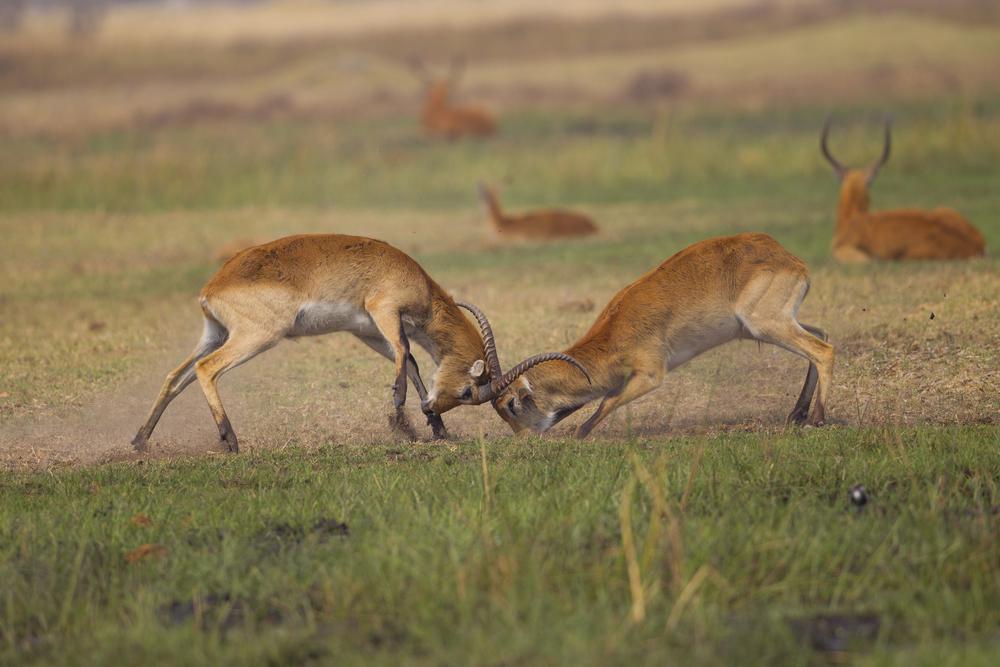 Letchwe   Kobus leche    Botswana    Khwai NP    2015