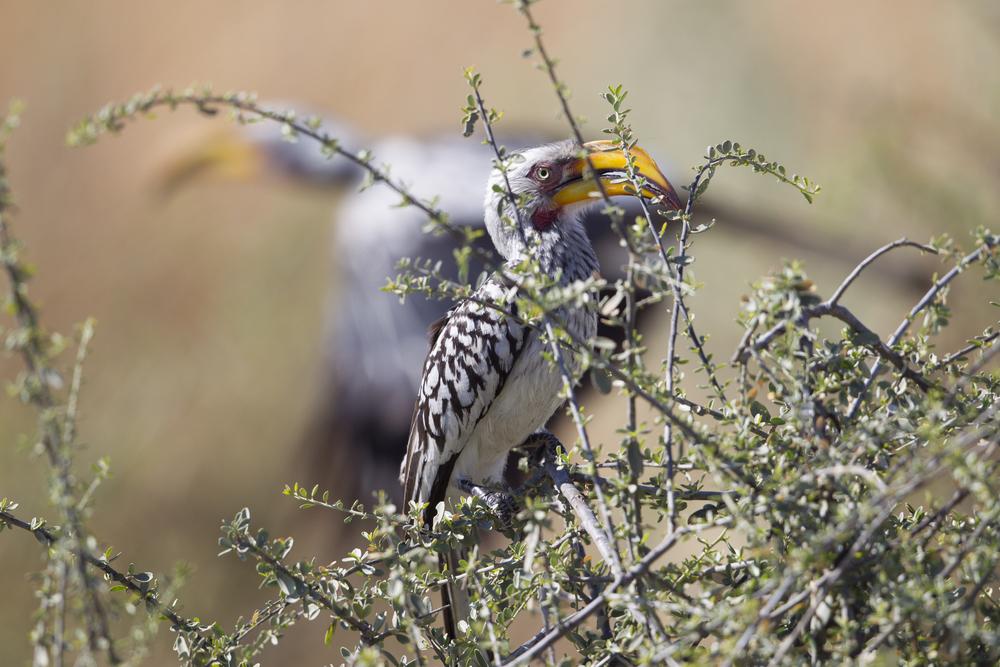 Gelbschnabeltoko  Tockus leucomelas  Botswana  Savuti NP  2015