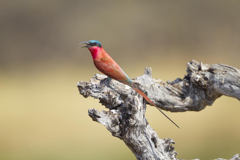 Karminspint  Merops nubicus  Botswana  Khwai NP  2015