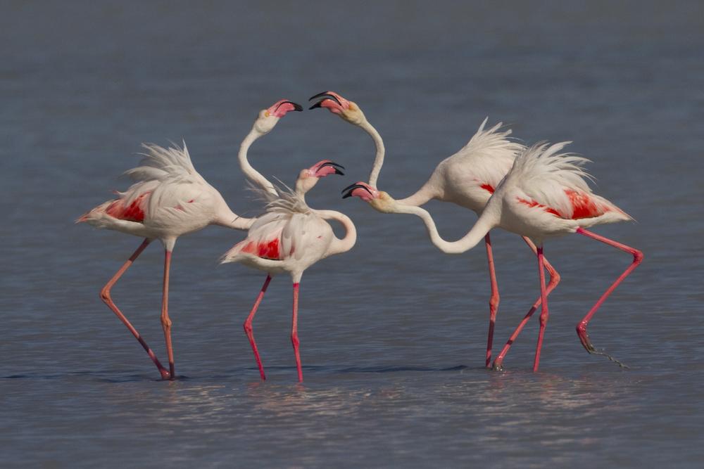 Rosa Flamingo   Phoenicopterus roseus    Sardinien    2013