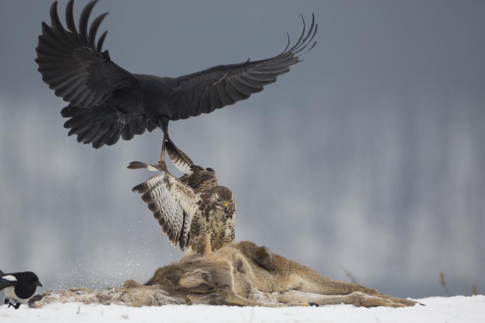 Mäusebusard/  Kolkrabe   Buteo buteo/    Corvus corax    Mecklenburg    Vorpommern    2014