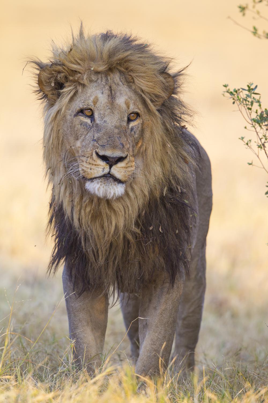 Löwe   Panthera leo    Botswana    Savuti NP    2015