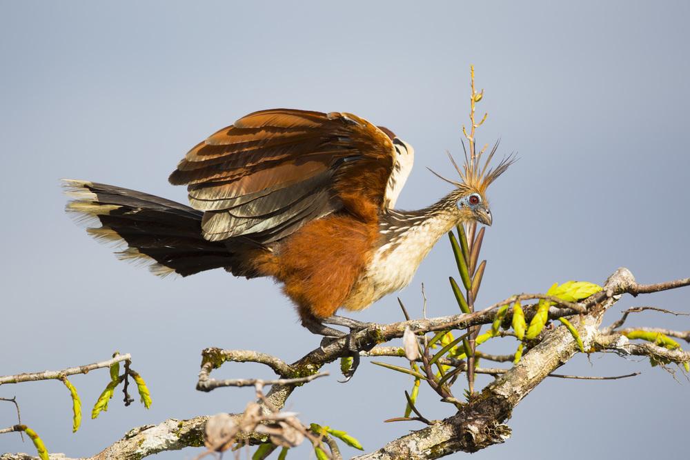 Hoatzin  Opisthocomus hoatzin  Ecuador  Cuyabeno NP  2014