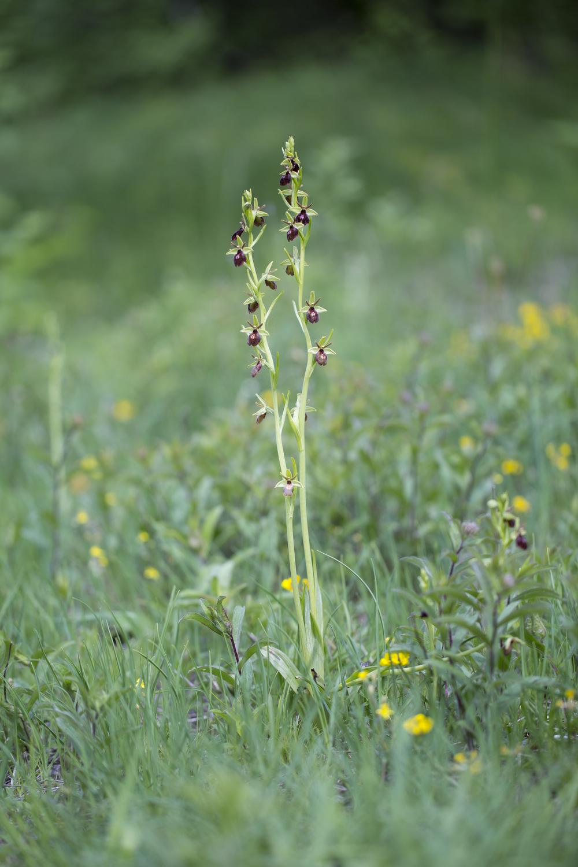 Spinnen-Ragwurz/  Fliegen-Ragurz  Ophrys sphegodes/   Ophrys insectifera   Sachsen-Anhalt  Totenthäler  2015