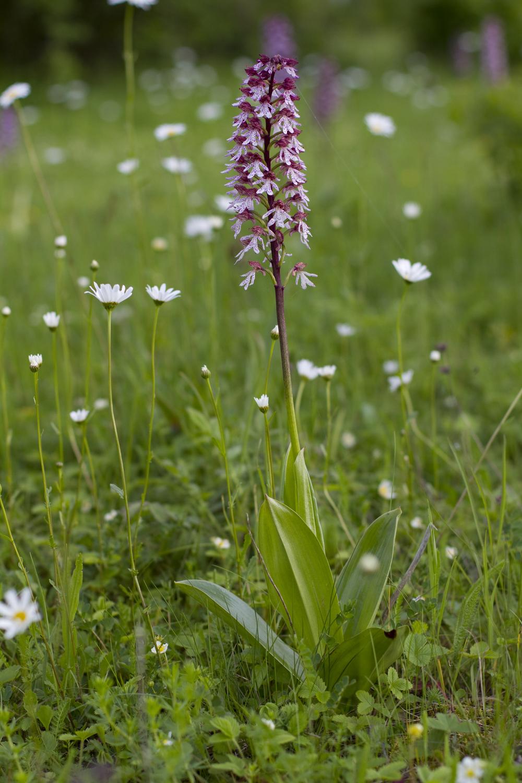 Purpurknabenkraut   Orchis purpurea    Sachsen Anhalt    2013