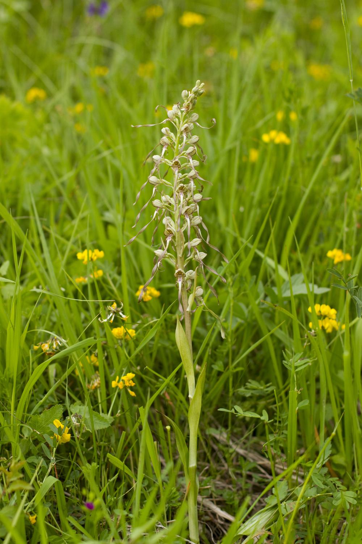 Bocks-Riemenzunge   Himantoglossum hircinum    Thüringen    2014