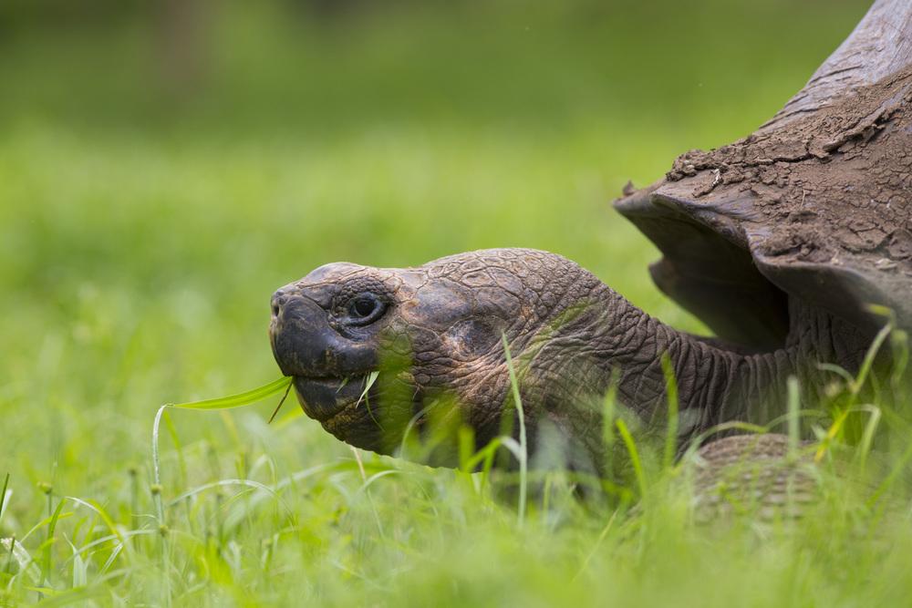 Elefantenschildkröte  Cheonoidis nigra porten  Galapagos  Santa Cruz  2014