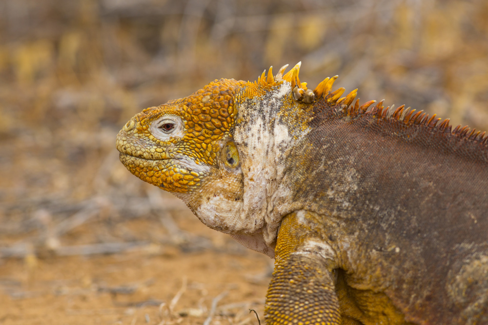 Drusenkopf   Conolophus subcristatus    Galapagos    Santa Cruz    2014