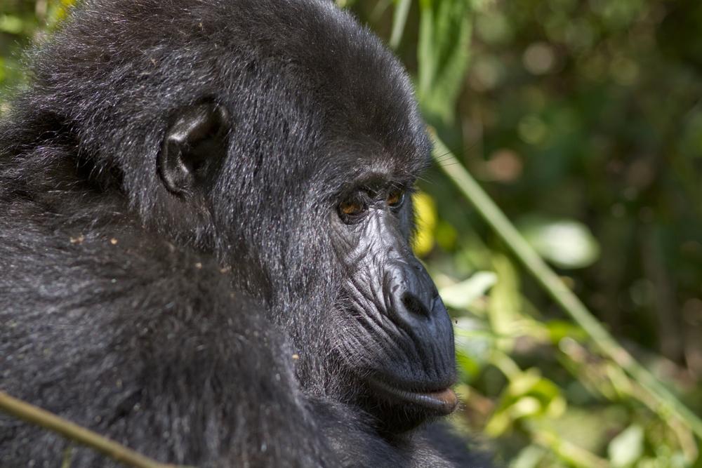 Berggorilla   Gorilla beringei beringei    Uganda    Bwindi NP    2012