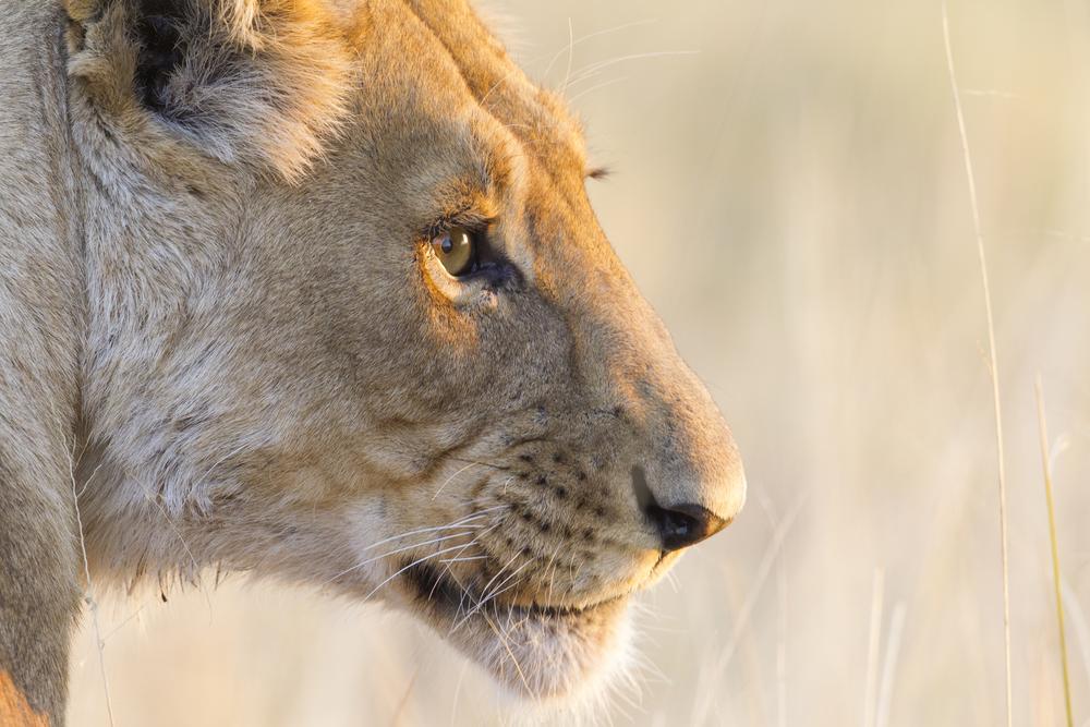Löwe   Panthera leo    Botswana    Savuti NP    Canon 1 d IV    500mm /4 II    2015