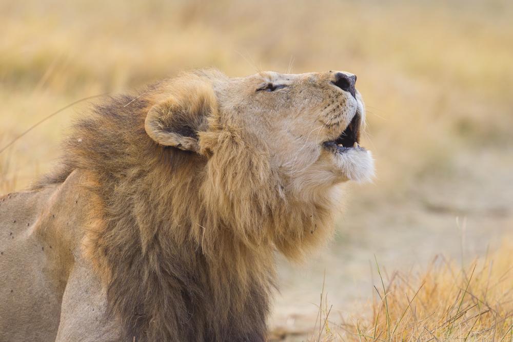 Löwe   Panthera leo    Botswana    Khwai NP    Canon 1 d IV    500mm /4 II    2015
