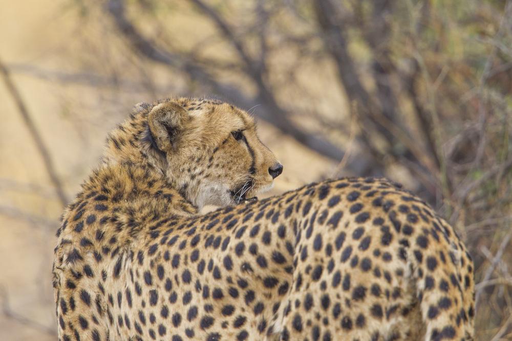 Gepard   Acinonyx jubatus    Botswana    Moremi NP