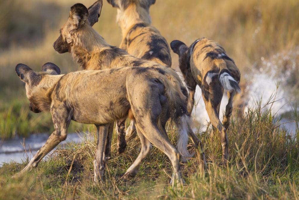 Afrikanischer Wildhund   Lycaon pictus    Botswana    Khwai NP    2015