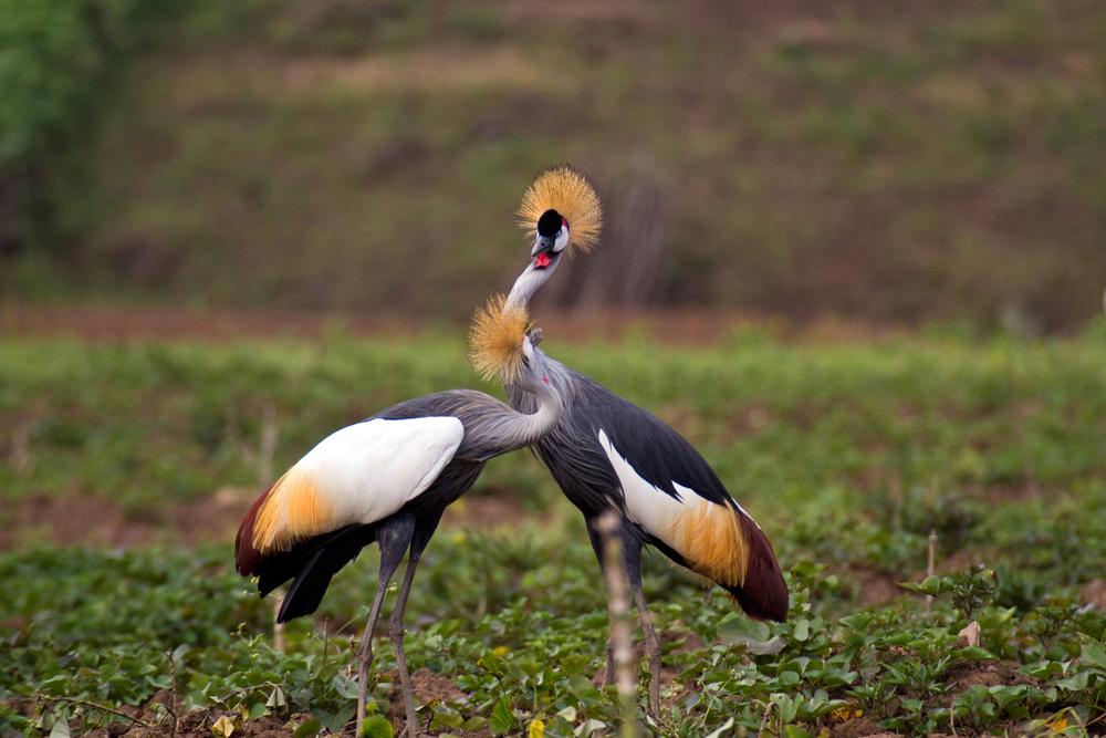Kronenkranich   Balearica regulorum    Uganda    2012