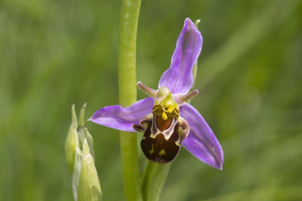 Bienenragwurz   Ophrys apifera    Sachsen Anhalt    2014