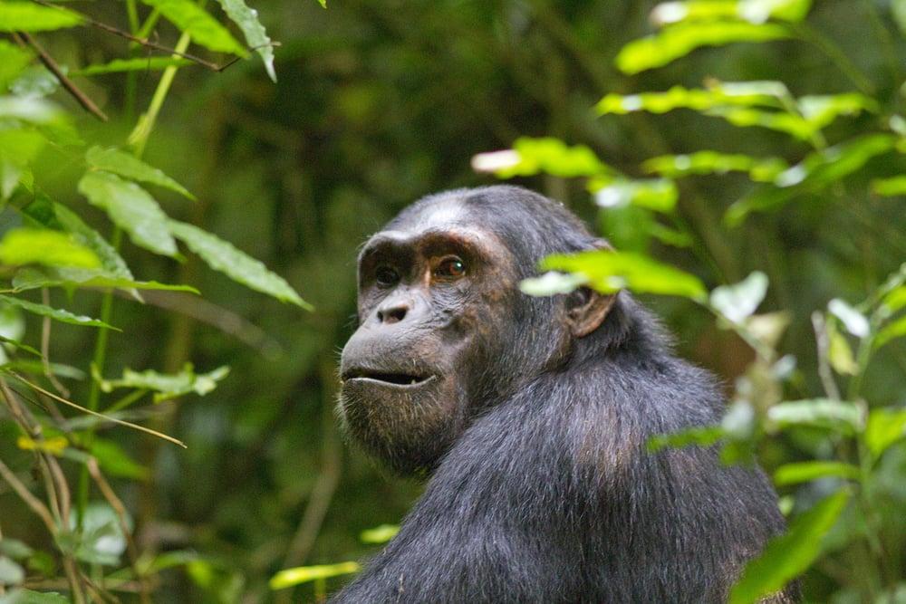 Schimpanse    Pan troglodytes    Uganda    Kibale Forest    2012
