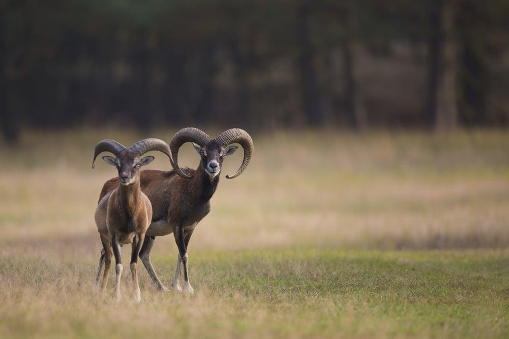 Mufflon   Ovis orientalis    Brandenburg    2014