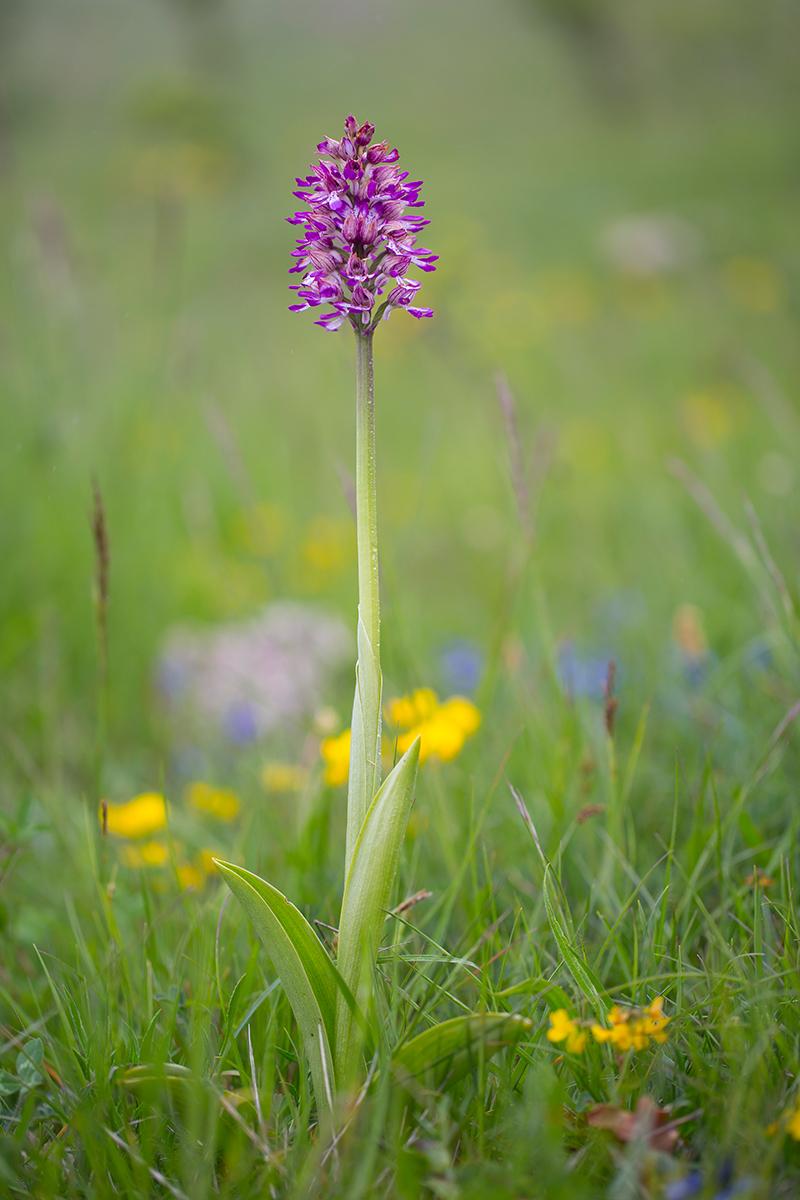 Purpur-helm-knabenkraut   Orchis militaris  ×  Orchis purpurea    canon 5 d III    100mm/2,8    1/640 sec    ISO 200    Frankreich   08.05.2016