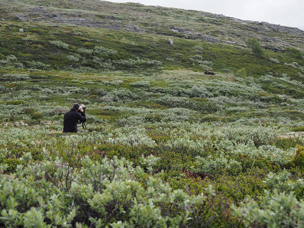 Bei den  Moschusochsen   Ovibos moschatus    Dovrefjell    im verregneten    Norwegen    Juni 2016