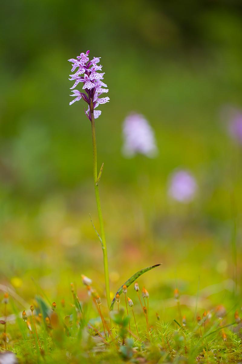 Geflecktes-  Knabenkraut   Dactylorhiza maculata    Norwegen    2016