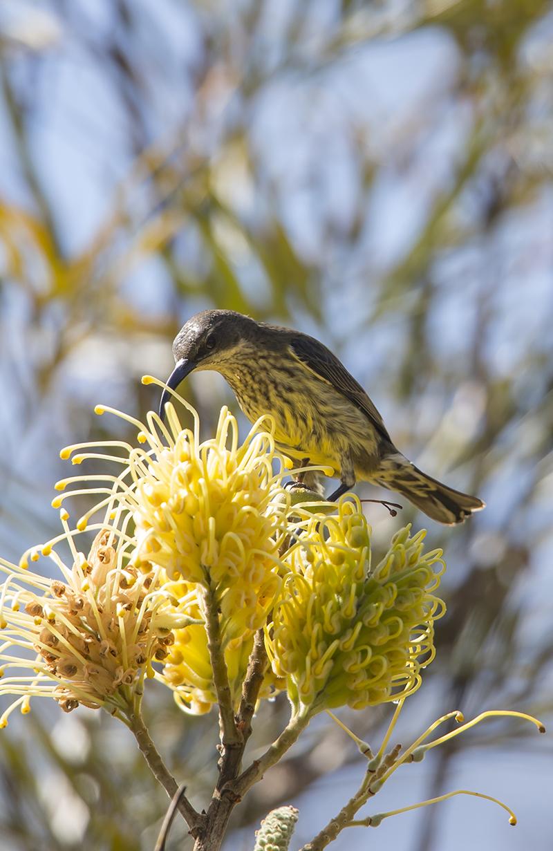 Madagaskar Necktarvogel  Nectarinia notata  Canon 1 d x II  5,6/700 mm  1/800 sec  Iso 400  12:05 Uhr