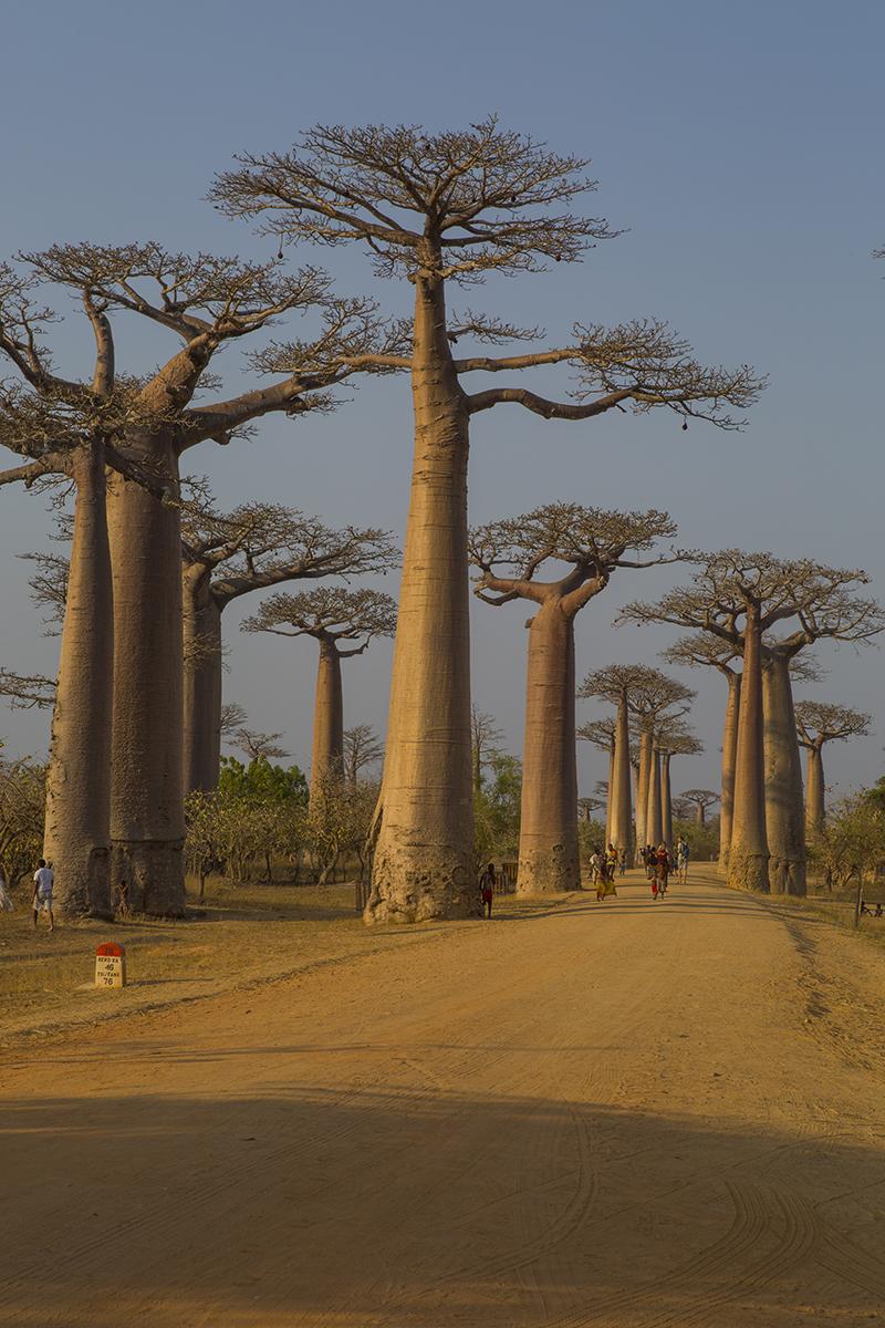Baobab-Allee im Westen  Affenbrotbäume   Adansonia    canon 5 d III    14/70 mm    1/80 sec    Iso 1000    Morondava    20.09.2017    16:36 Uhr