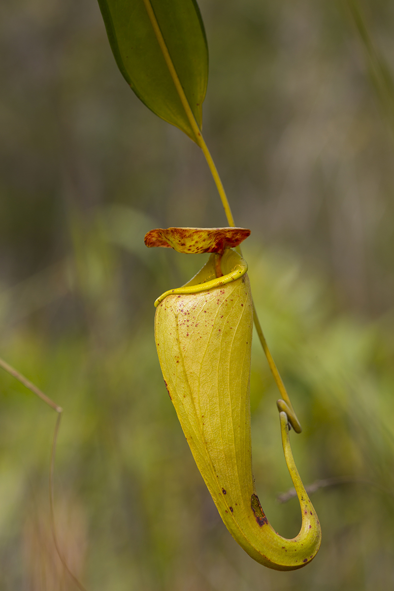 Kannenpflanze  Nepenthes madagascariensis