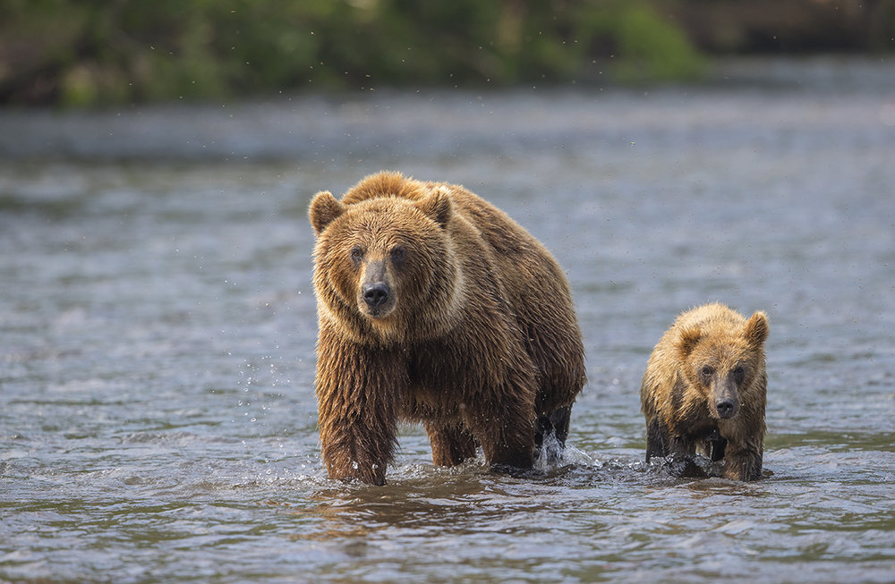 Ein Starkes Team  Grüße aus Kamtschatka  Braunbär  Ursus arctos  canon 1 d x II  5,6/ 500 mm  1/ 500 sec  ISO 320  20.07.2018  19:07 Uhr