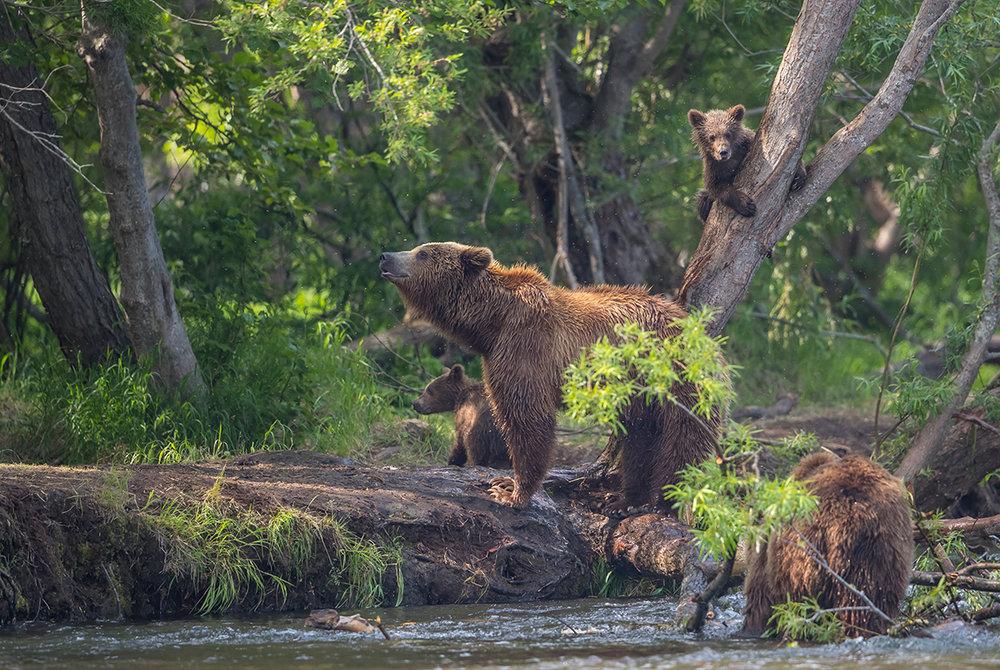 Die Mutter zeigt ihre Größe und verschafft den Jungen Zeit sich auf einen Baum zu flüchten.
