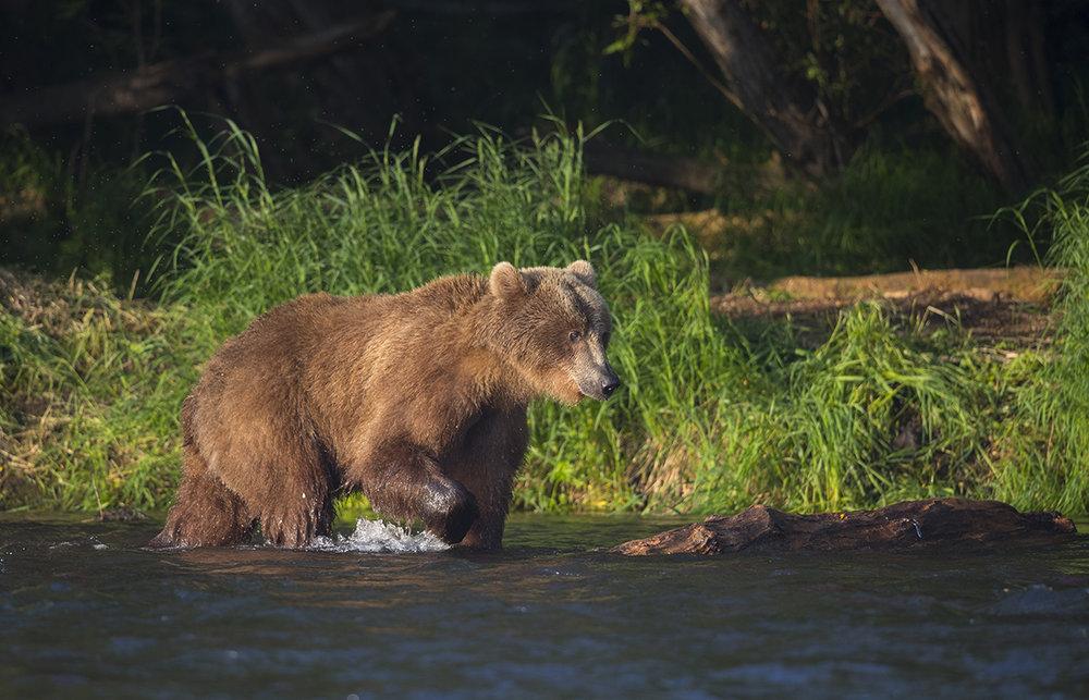 Braunbär  Ursus arctos  canon 1 d x II  4/ 500 mm  1/ 1000 sec  ISO 400  Kamtschatka  Zwei Jurten Fluss  Dwuchjurtotschnoje  20.07.2018  6:30 Uhr