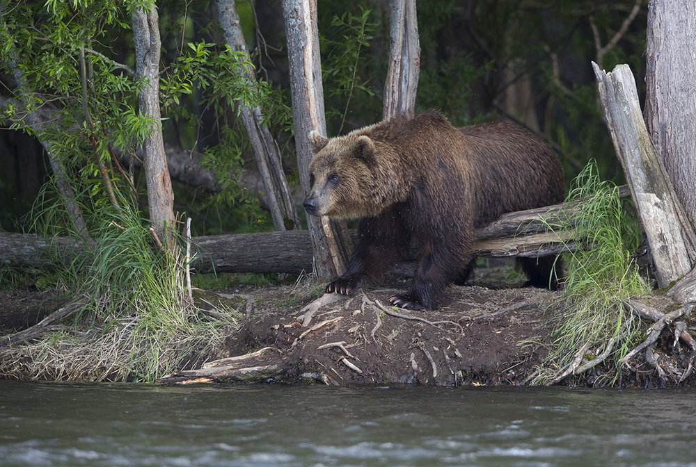 Großes  Männchen  mit über  500 kg  Masse.