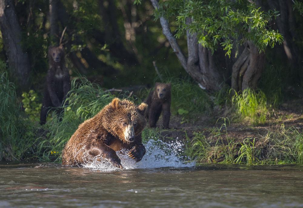 Diese erfahrene Mutter mit ihren diesjährigen beiden Jungen war die erfolgreichste Fischerin in diesem Flussabschnitt.