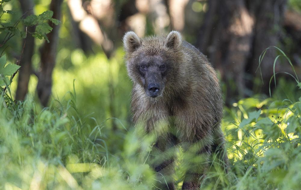 Dieser 3 bis 4 Jahre alte Bär schaute mir aus dem Wald beim Fotografieren zu.