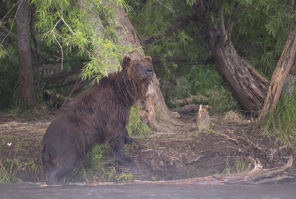 Ältere starke Männchen sind die größte Gefahr für Jungtiere. Sie können bis 650 kg wiegen und der Mutter und ihren Kindern lebensgefährliche Verletzungen zufügen.